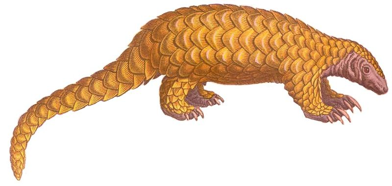 File:FMIB 46859 Pangolin a grosse queue white background.jpeg