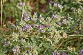 Fabaceae sp.-CTJ-IMG 6681.jpg