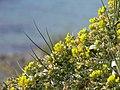 Faboïdée (Faboideae) et plage (Bormes-les-Mimosas).jpg