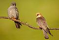 Falco vespertinus 3 (Martin Mecnarowski).jpg