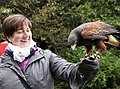 Falconry with hawk.jpg