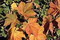 Fall Color Leaf Detail, Wallowa-Whitman National Forest (26800785805).jpg