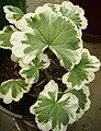 Fancy Leaf Pelargonium.jpg