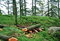 Felled and processed tree trunks, Muncaster Head - geograph.org.uk - 1337233.jpg