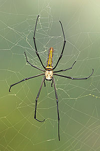 Female-Nephila-pilipes.jpg