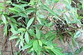 Ficus racemosa 9zz.jpg