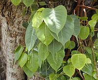 Ficus religiosa Bo