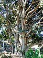 Ficus rubiginosa, stam, Pretoria.jpg