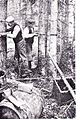 Fighting Lymantria monacha Sweden 1898-1902.jpg