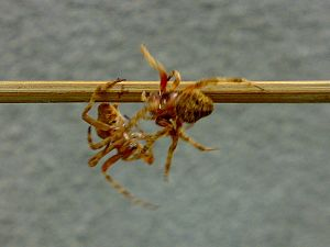 Spider fighting - Two fighting spiders