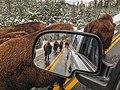 File-Bison jam on the Mammoth to Norris road;-Neal Herbert;-November 8, 2013;-Catalog 19276d;-Original yell-ndh-bisonjam (c9d8e174-eb03-4398-b82b-80499e9c0aca).jpg
