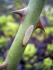 Rosenstacheln (aus Wikimedia Commons unter GFDL-Lizenz von Denis Barthel)
