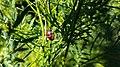 Firebug or pyrrhocoris apterus in Yerevan 02.jpg