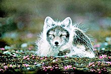 Arctic fox in Svalbard, Norway