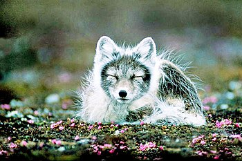 Arctic fox at Svalbard, Norway