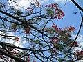 Flamboyant (Delonix regia) branches.jpg