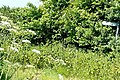 Flaming June - geograph.org.uk - 1378290.jpg