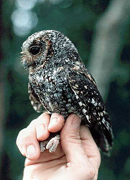 Flammulated owl.jpg