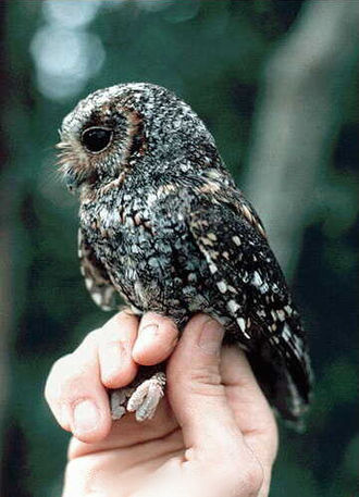 Flammulated owl - Image: Flammulated owl