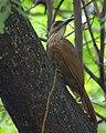 Flickr - Dario Sanches - ARAPAÇU-DE-GARGANTA-BRANCA (Xiphocolaptes albicollis ) (4).jpg
