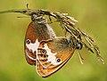 Flickr - Lukjonis - Pearly heath - Coenonympha arcania.jpg