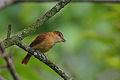 Flickr - Rainbirder - Cinnamon Becard (Pachyramphus cinnamomeus).jpg