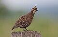 Flickr - Rainbirder - Crested Bobwhite (Colinus cristatus).jpg