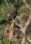 Flickr - Rainbirder - Long crested Eagle.jpg