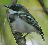 Flickr - Rainbirder - Short-tailed Batis (Batis mixta).jpg