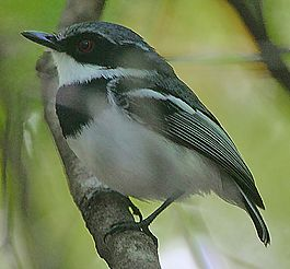 Flickr - Rainbirder - Short-tailed Batis (Batis mixta).jpg
