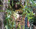 Flickr - brewbooks - Nepenthes - Tropical Centre (2).jpg