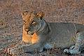Flickr - ggallice - Lioness.jpg