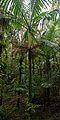 Flickr - ggallice - Sierra palm-palma de sierra.jpg