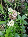 Flor del jardí del museu de Leimebamba04.jpg