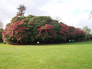 Lost Gardens of Heligan - Flora's Green rhododendron tree