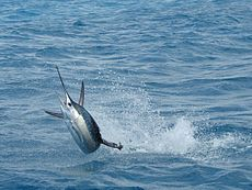 Florida Sailfish.jpg