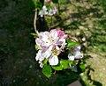 Flors de pomera borda pel camí de les Costeres, Xàbia.jpg