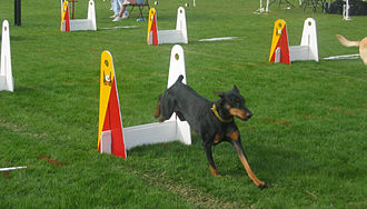 Flyball - Dogs from two teams race against each other over parallel lines of jumps. The jump height is based on the smallest dog on each team.