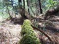 Forêt de la Coubre 010.jpg