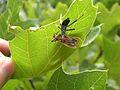 Forest Road - Assassin Bug in Reduviidae Family - Flickr - Jay Sturner.jpg