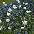 Forget-me-nots and white tulips at Quex House Birchington Kent England.jpg
