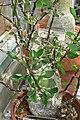 Fouquieria fasciculata 2.jpg
