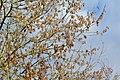 Frêne- (Fraxinus excelsior).jpg