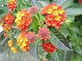 Fraktale-Pflanzenstruktur SL275684.JPG