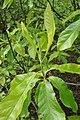 Franklinia alatamaha (Franklin Tree) (34339657884).jpg