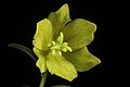 Fritillaria camschatcensis fma. flavescens (L.) Ker Gawl., Bot. Mag. 30 t. 1216 (1809) (49974233791).jpg