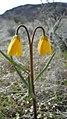 Fritillaria pudica twin flowers.jpg