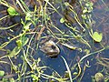 Frog in a pool - geograph.org.uk - 1286108.jpg