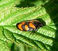 Froghopper. Cercopis vulnerata - Flickr - gailhampshire (5).jpg