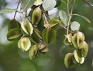 Terminalia arjuna - Arjuna fruit